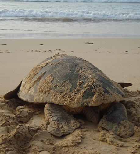tortuga caminando hacia el mar